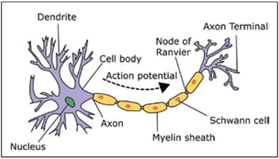 Fig. 1: A neuron