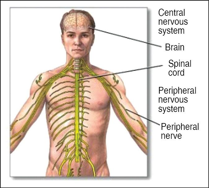 nervous system and higher mental processes The nervous system a cerebral cortex processes viewed and auditory information, and higher mental processes take place in the cerebral.